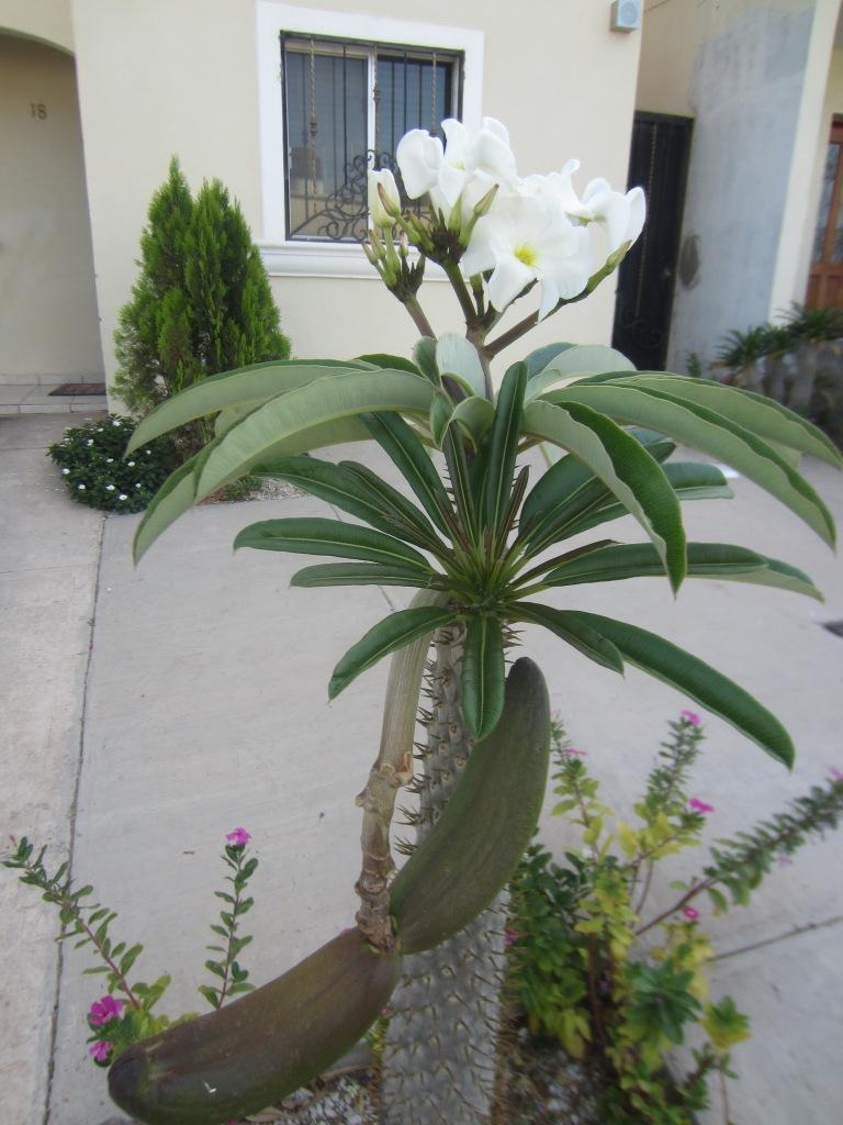 PalmaMadagascar2f.jpg