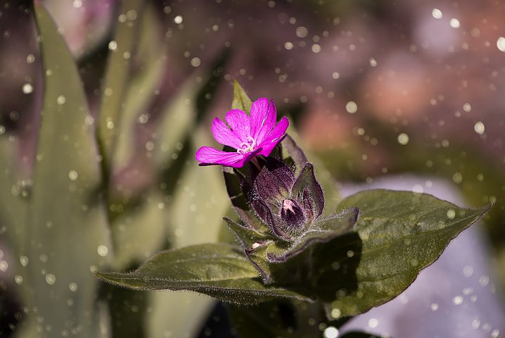 red-campion-2427265__480